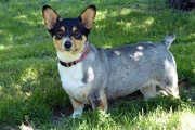 コーギーのミックス犬は種類が豊富!その魅力と人気の秘密