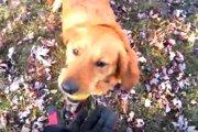 秋ならではの遊び♪枯れ葉の山からボールを探し当てるワンコさん