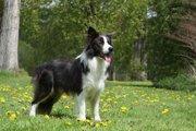 ボーダーコリーはなんでもできちゃう才能あふれる犬種