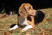 ビーグル犬の魅力とは?スヌーピーのモデルとなった犬種!