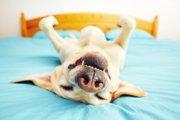 犬が飼い主のベッドに居座っているときの5つの心理