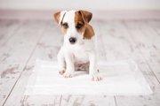 犬のトイレシーツを交換するタイミングとは?