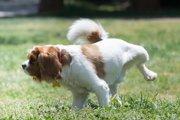 犬が後ろ足を上げている理由とは?隠れている病気の可能性