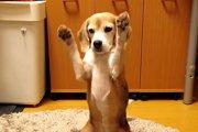ビーグル犬のプリンちゃんの妙技が素晴らしい!2つのギネス記録を持つわんちゃん