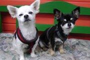 トイプードルのミックス犬まとめ!人気の種類や特徴などについて