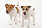 ジャックラッセルテリアの抜け毛対策とは?犬種別の対処方法と関連の病気を知ろう
