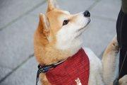 天使?悪魔?柴犬は飼い主次第で性格が大きく変わります!