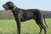 グレートデーンは世界一大きいと言われる犬!性格や飼うときの注意点