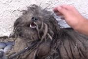 伸び放題の毛に覆われた犬、保護されて可愛い姿に戻るまでの記録