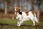 コーイケルホンディエの性格や特徴、飼い方とは?日本で100頭前後の希少犬種?