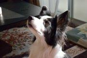 ボーダーコリーの飼い方 犬種の特徴と育てる上での心構え