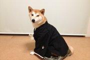 犬の正装・羽織袴で写真撮影!洗濯機洗い可!「なりきりペッツ羽織袴」サイズ目安