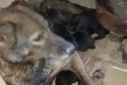 水たまりを掘り続けるワンコ、子犬を救った勇敢な母犬の姿
