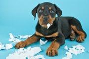 【STOP!ビリビリ!】愛犬がトイレシートを破る原因と対処法について