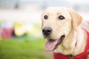 血糖値の異常を知らせる「糖尿病予知犬」とは?
