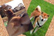 柴犬のしっぽの秘密について