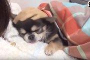 ここが一番安心♪お母さんの腕の中でしか眠れない甘えん坊ワンコ