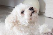 犬の聴力が低下する4つの原因とは?生活の注意点から検査方法まで