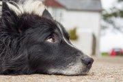 犬が老化により見せるようになる5つのサイン