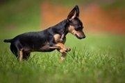 プラシュスキー・クリサジークの特徴や性格とは?チェコの超小型希少犬種