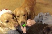 歯磨き大好き♡好きすぎて歯ブラシを奪い合う2匹のワンコ