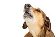 犬がサイレン(救急車やパトカー)に反応するのは何故?