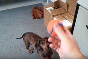 天才犬現る!?長い箱に入ったボールを取るダックスが賢すぎ!