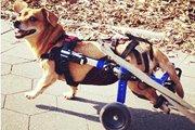 犬の車椅子!歩けなくなったワンちゃんのために