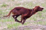 アイリッシュセッターとはどんな犬?特徴や性格、飼うときの注意点まで