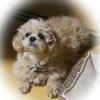 シーズー×ダックスのミックス犬のご紹介!どっしり落ちついた性格