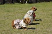 ダップー(ミックス犬)の知っておきたい性格や飼い方