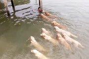 12頭のゴールデンレトリバーが飼い主さんと泳ぐ姿が壮観!