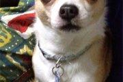 スムースチワワってどんな犬?性格や特徴、飼い方について