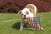 アメリカンブルドッグの性格や特徴について