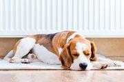 犬の拡張型心筋症の症状や治療について。大型犬は特に注意が必要。