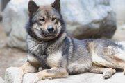 川上犬とはニホンオオカミの血を引き継ぐ希少種!