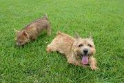 ノーリッチテリアはずんぐりむっくりで可愛い犬種!