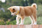 秋田犬が海外で大人気!しかし人気の影には偽物も…