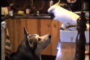 共犯です!盗み食いを2人で協力するハスキー犬とインコ(まとめ)