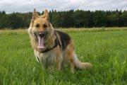 警察犬が犯人捜索中に熱中症で死亡…他人事ではない熱中症の恐怖