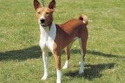 バセンジーってどんな犬種?その歴史や魅力、部位ごとの特徴について