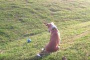 犬のひらめき!無限ボール遊びのやり方を発見した賢いワンコ