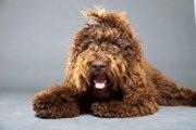 バルビー(Barbet)ってどんな犬?特徴や飼い方まで