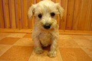 「シュナプー」はシュナウザーとプードルのミックス犬