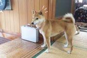 【羨ましい!】柴犬ちゃんの歓喜のお出迎えが可愛すぎる!(まとめ)