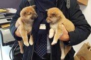 【怒り】ヨーロッパで世界中で大人気の柴犬が密輸されていた!