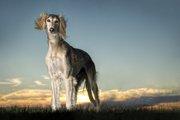 サルーキってどんな犬?特徴や性格、寿命から飼い方まで