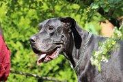 グレートデンは魅力あふれる心優しい大型犬!