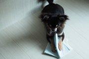 犬のお留守番時の反発行動『ペットシーツ破り』原因や対処法