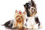 ヨークシャーテリアの成犬の大きさは?子犬の段階で予測する方法も